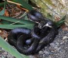 <h5>Our biggest black snake</h5><p></p>