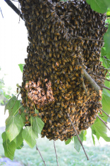 <h5>Honey bees swarm out of the hive</h5><p>																																																																				</p>