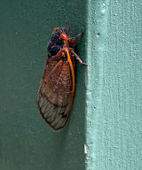 <h5>Cicada--the 17 year horde</h5><p></p>